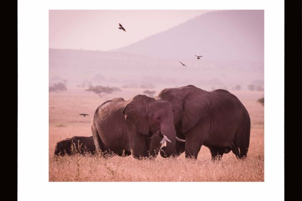 elephants-couple-red